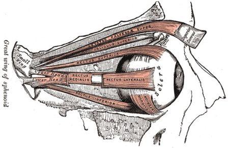 Gray's_anatomy_Eye_muscles